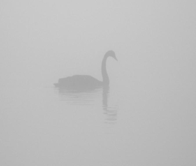 Just detectable through the mist, a graceful black swan.