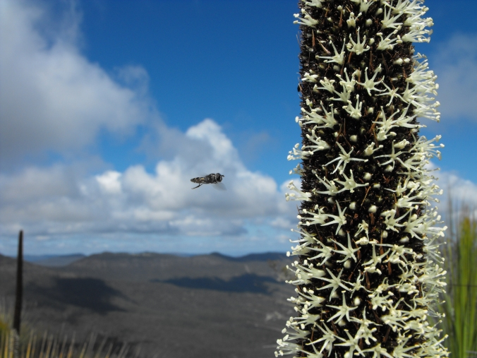 Hover fly approaching a flowering grass tree (Xanthorrhoea) on the East Peak.