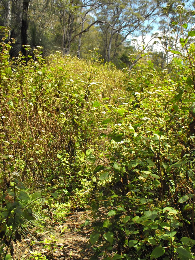 A forest of weeds to wade through and feed our tick fears...