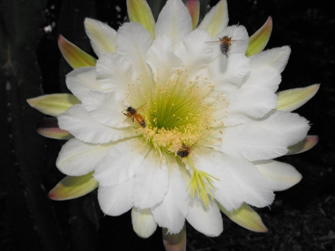 Night flowering cactus still open at dawn is enjoyed by the honey bees.