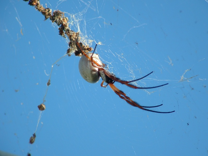 Orb weavers are common in my garden and I often walk into their webs.