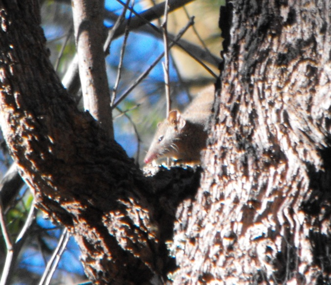 An antechinus was busy scampering up and down a tree.