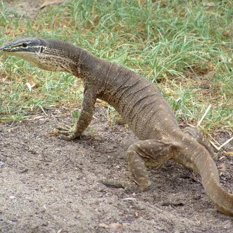 Fred the goanna.