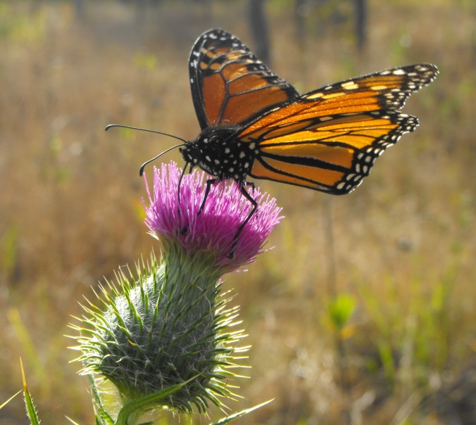 Monarch on thistle