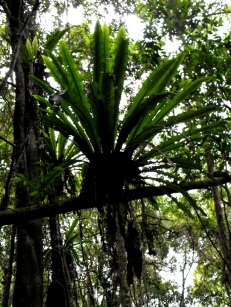 Staghorn
