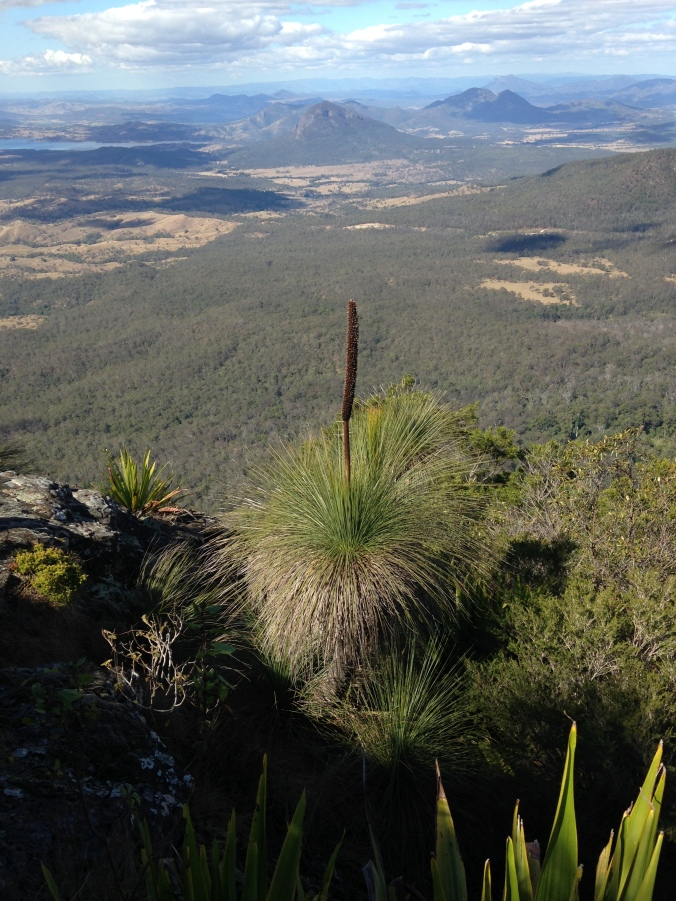 Grass Trees on Mt Cordeaux