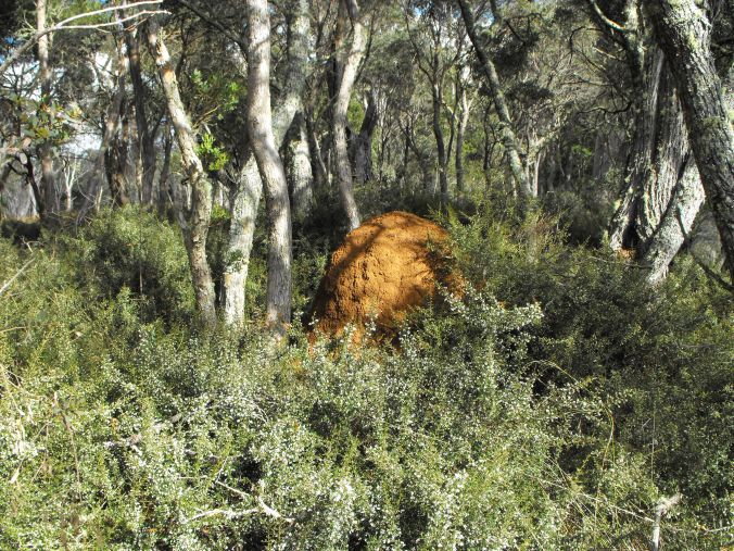 Termite Mound surrounded by alpine trees in Guy Fawks National Park