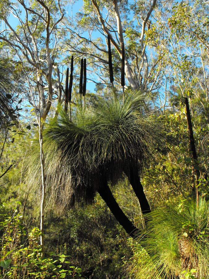 Branched grass trees