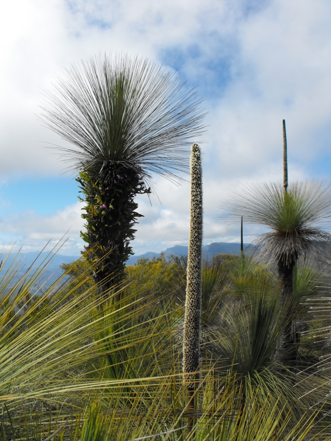 Grass tree flowers