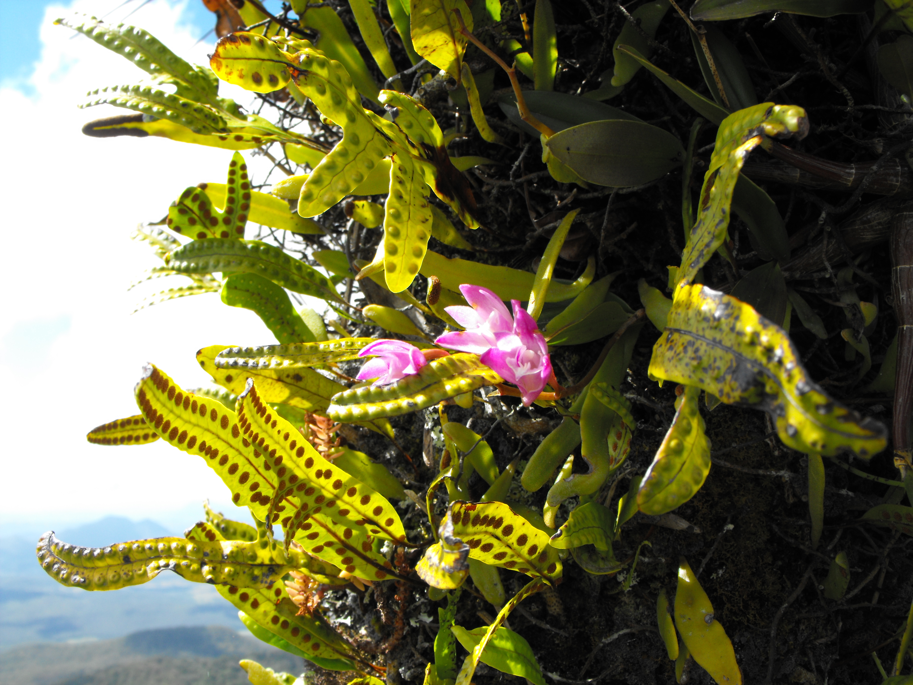 My grass tree romance hiking mt french moogerah peaks national pink orchids mightylinksfo