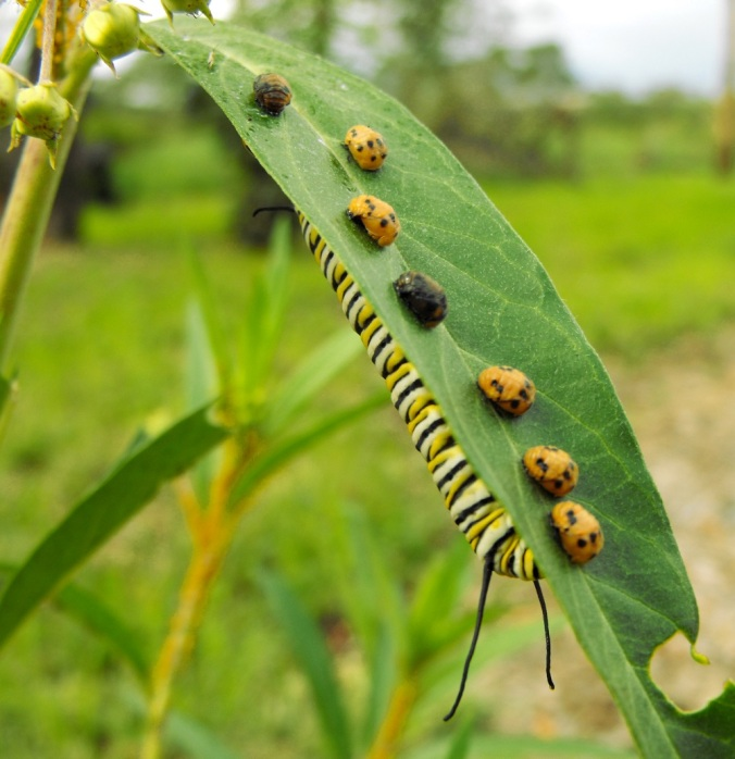 Monarch larva and beetles on milkweed.