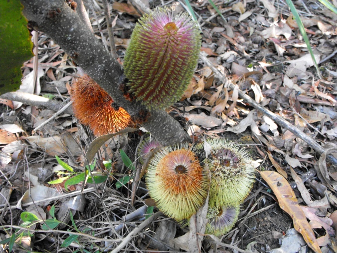banksia colours
