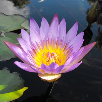 Mt Coot-tha - water - lily