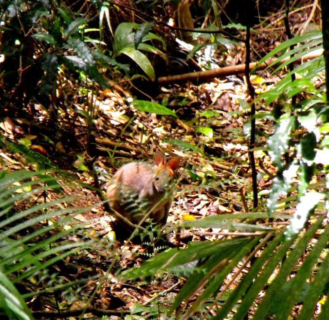 A shy red-necked pademelon