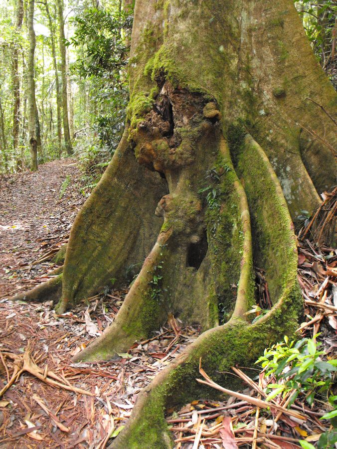 rainforest tree buttress
