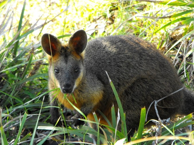 Swamp wallaby on the path near Cape Byron Lighthouse.