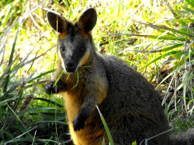 byron-bay-lighthouse-wallaby