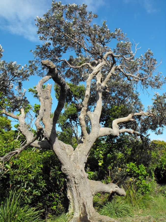 Byron-Bay-walk-tree