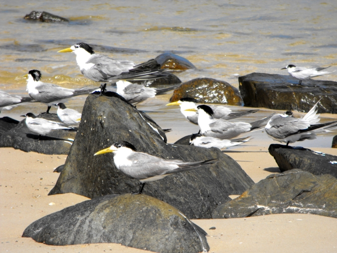 crested-terns