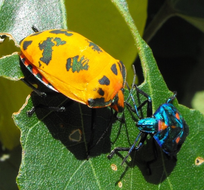Harlequin bug and nymph