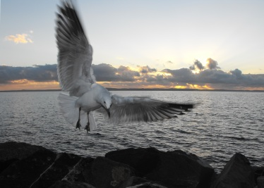 seagull-flying-sunrise-wellington-point