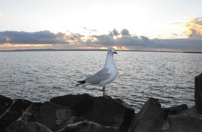 Seagull-sunrise-wellington