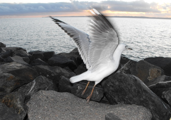 seagull - Wellington-Point