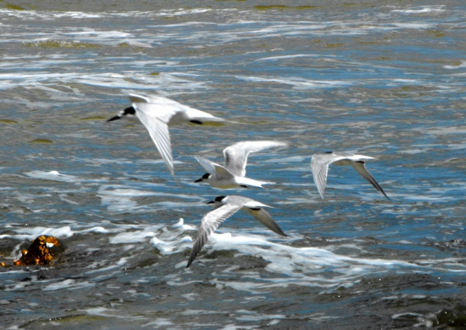 terns-flying-beach
