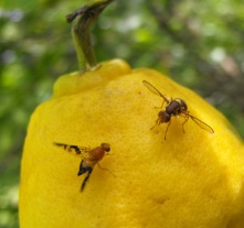 fruit flies on bush lemon