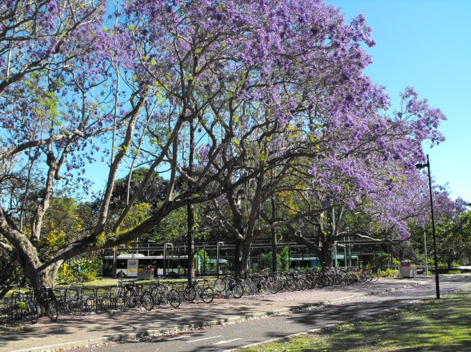 Jacarandas and bicycles
