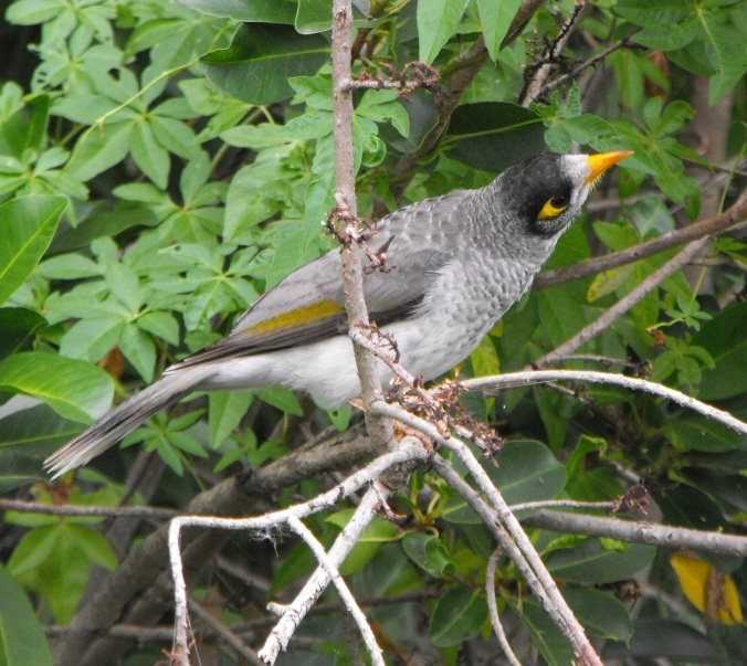 Noisy miner adult