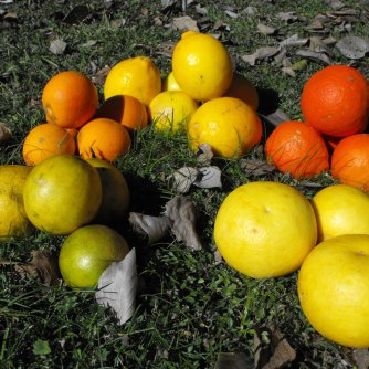 Oranges, small lemons, tangelos, grapefruit, lemonade fruit.