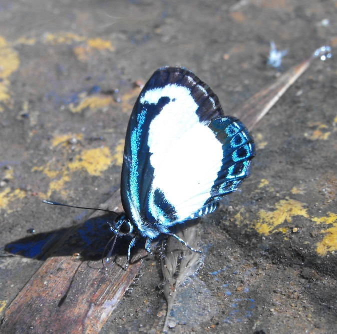 Small green banded blue