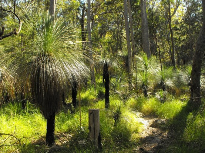 Grass trees close to the summit