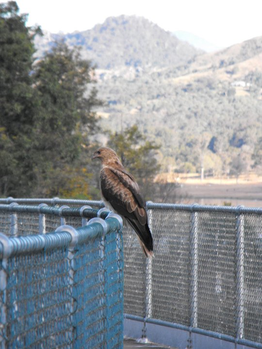 Little eagle on the dam wall