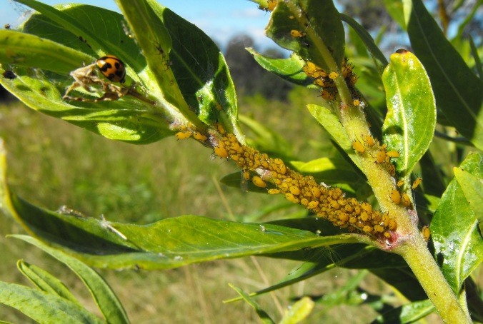 aphids and ladybeetle on milkweed