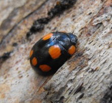beetle on gum tree