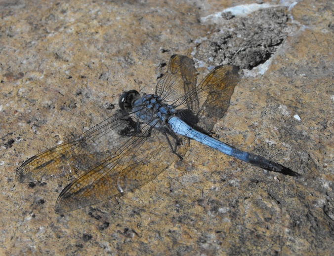 blue dragonfly at Nerima Gardens