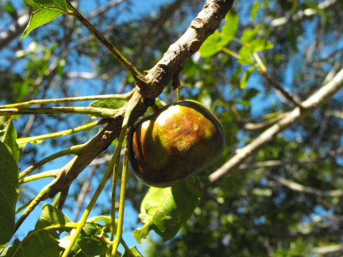 Burdekin plum on tree