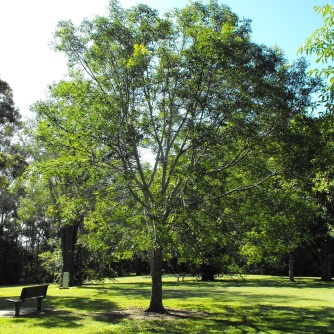 Burdekin plum tree - Sherwood Arboretum