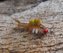 caterpillar on gum tree trunk