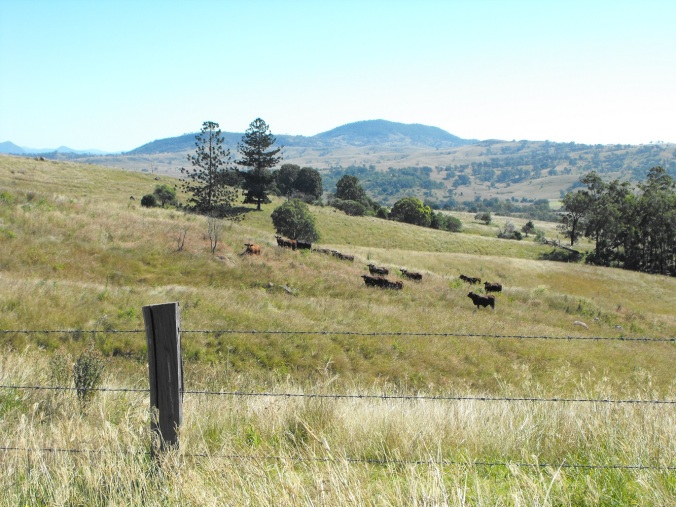 Cattle at Mt Maroon 2