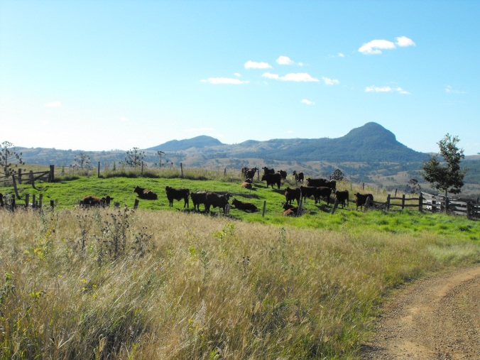 Cattle at Mt Maroon