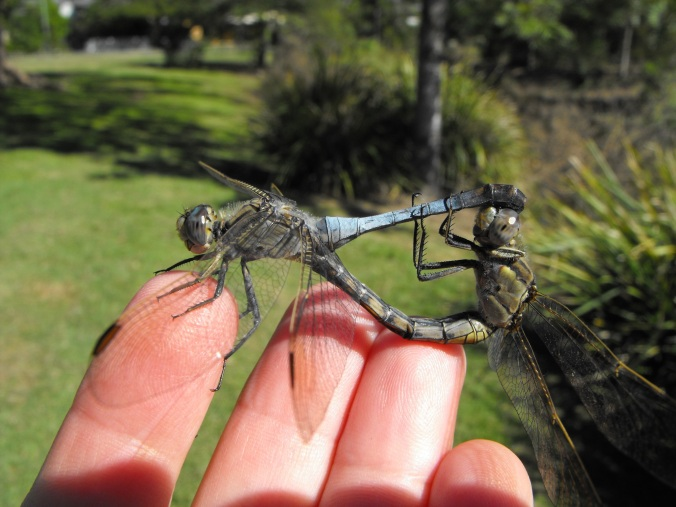 dragonfly mating 1