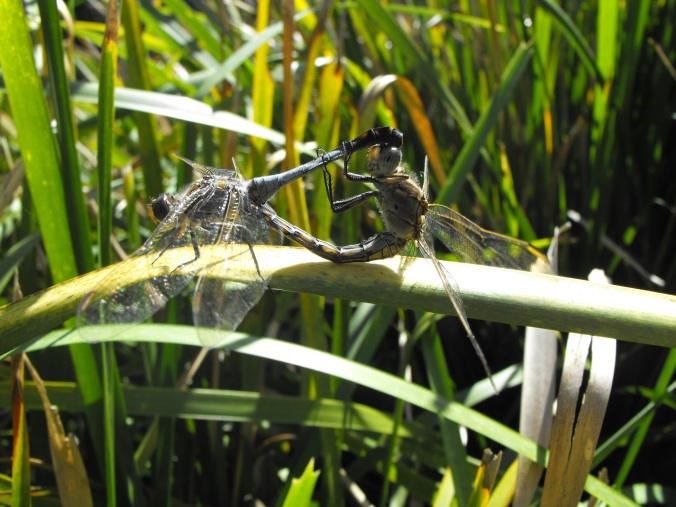 dragonfly mating 3