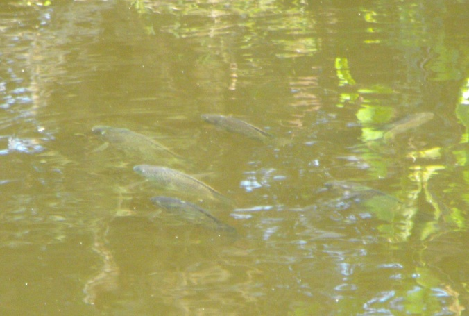Fish at Sherwood Arboretum 2