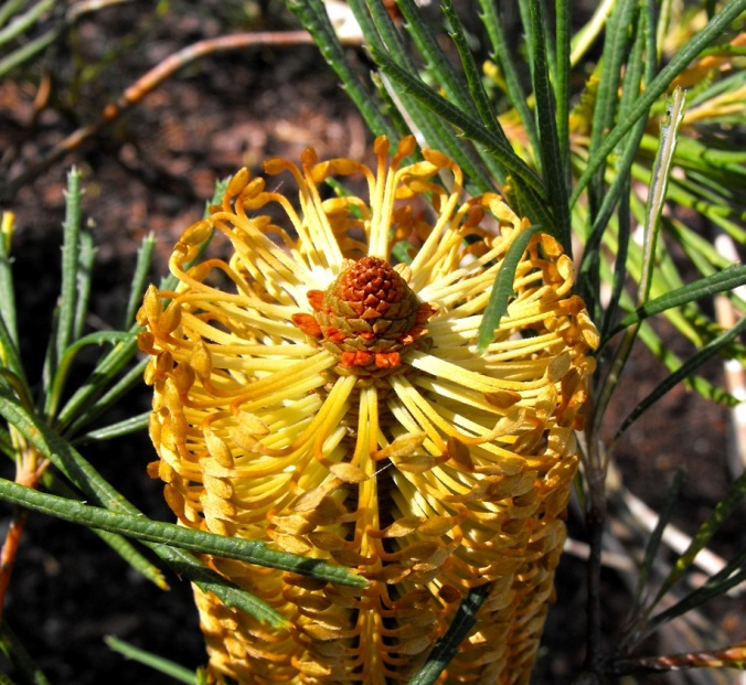 golden banksia