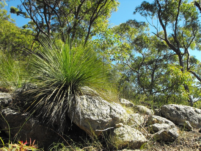 Grass tree and rocks at Mt Maroon