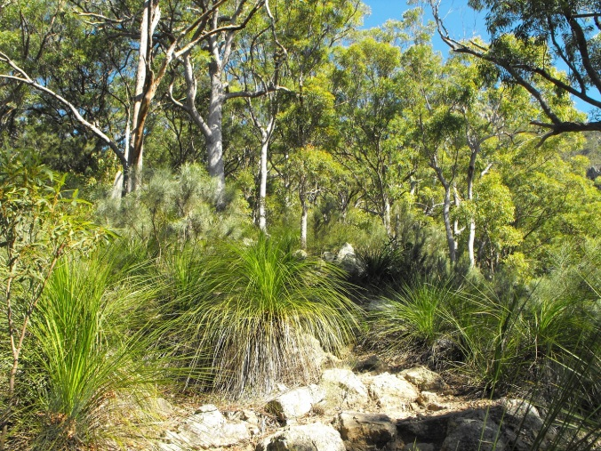 Grass trees at Mt Maroon