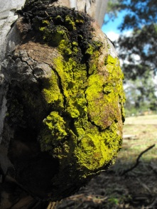 green powder mould on gum tree